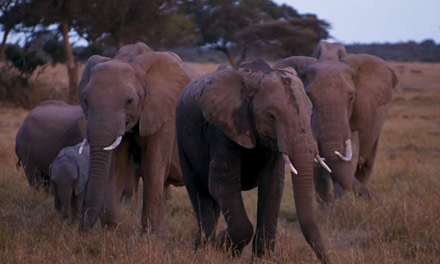 Using Drones to Save Kenya's Elephants.
