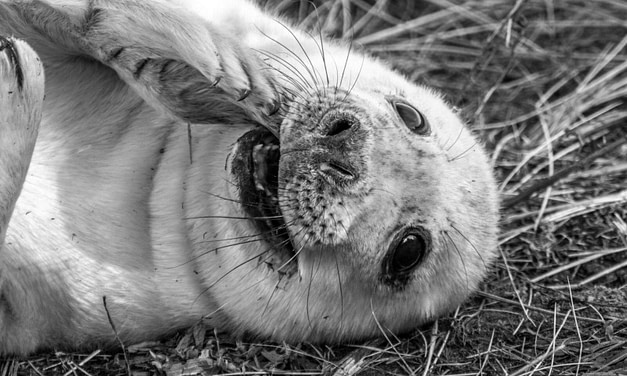 Seal Photography at Donna Nook with the Olympus E-M5 MkIII and 40-150mm Pro lens